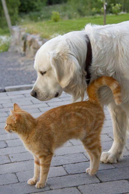 The Golden retriever Gordon and cat Daisy #retriever