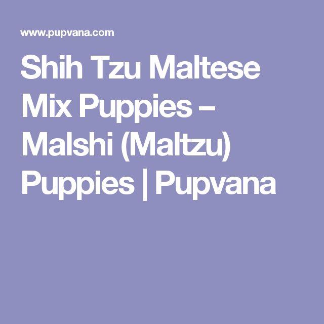 Shih Tzu Maltese Mix Puppies – Malshi (Maltzu) Puppies   Pupvana