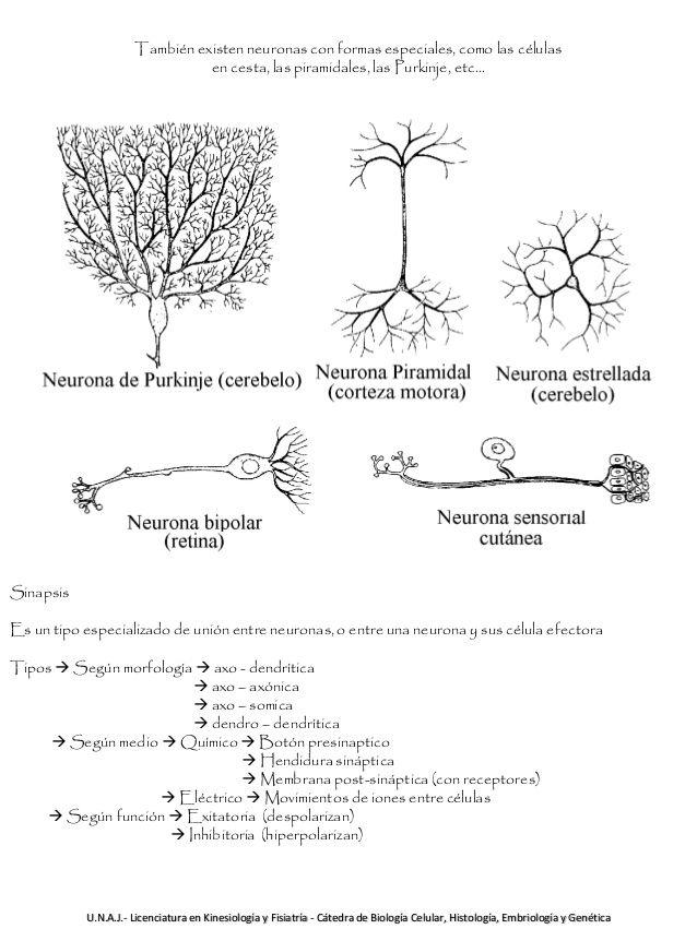 También existen neuronas con formas especiales, como las células en cesta, las piramidales, las Purkinje, etc…  Sinapsis  ...