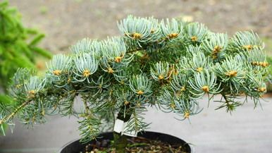"Thick, blue-green needles on this dwarf fir have a glaucous, powdery coating on the surfaces. Found as a witch's broom overlooking a bed of hostas. The name means ""the view of the hostas."""