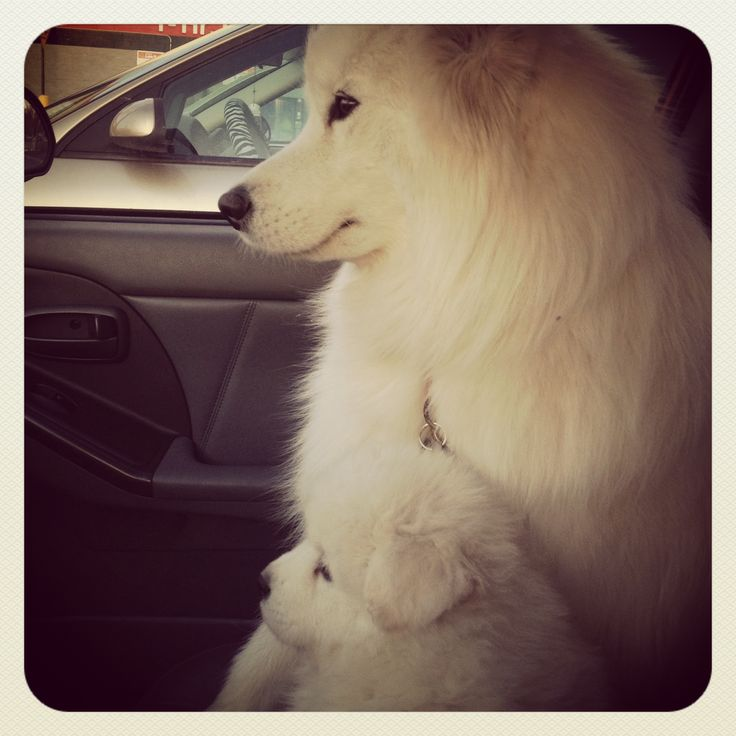 cutest thing ever :) Samoyed and her puppy