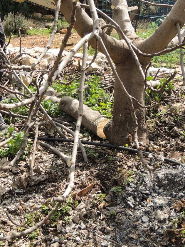 How To Prune Fruit Trees To Keep Them Small In 2020 Prune Fruit Fruit Trees Prune