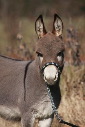 47 best images about Burros - Donkeys - Packesel ... | 299 x 448 jpeg 21kB