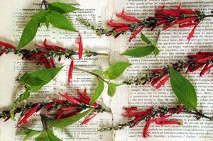 Salbei > Ananassalbei/ Salvia rutilans - Pflege, Überwintern und Trocknen