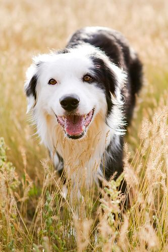 """Our best herding dog was a wild dog, named Teddy. He was born in the woods below our farmhouse and without any training whatsoever, he took over the role of bringing home the cows when they were called, """"come boss, come boss'"""