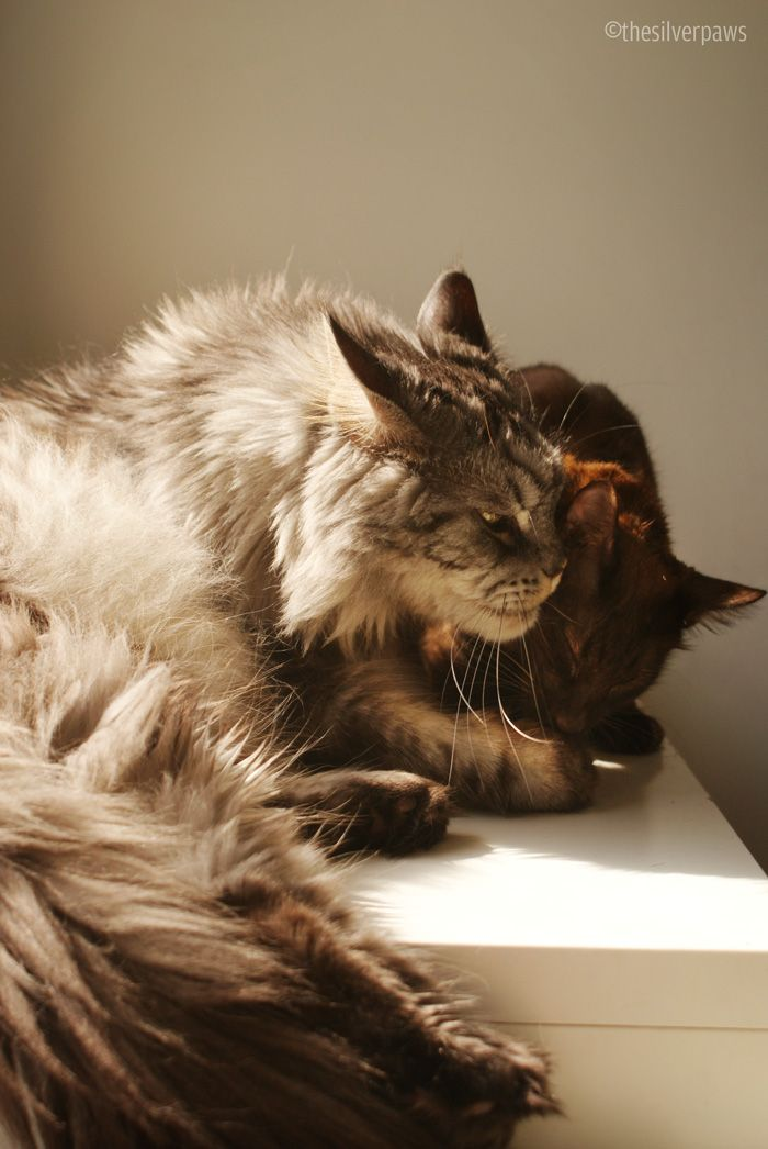 43 best Brown Cats ima...