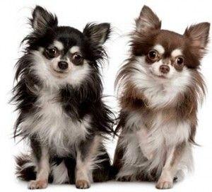 Chihuahua – O pequeno grande companheiro