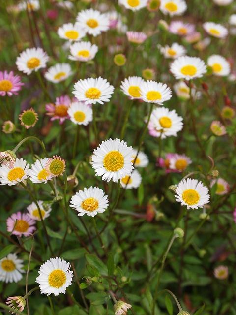 Erigeron karvinskianus - Muurfijnstraal, Mexicaans madeliefje (het zijn de roze-witte madeliefjes die in een schier oneindige hoeveelheid bloeien op kleine bossige plantjes tot diep in de herfst. Het mooist op schrale, droge plaatsen, waar de plant ook uit zal zaaien. Type: Vaste plant. Soort: Plant voor open ruimte. Standplaats: Zon. Vocht: Droog-vochthoudend. Grond: Matig voedselrijk. Wintergroen: Nee. Na 2 of 3 jaar scheuren).