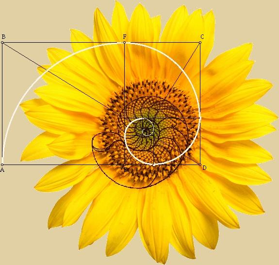 Phi Fibonacci spiral Yellow Sunflower