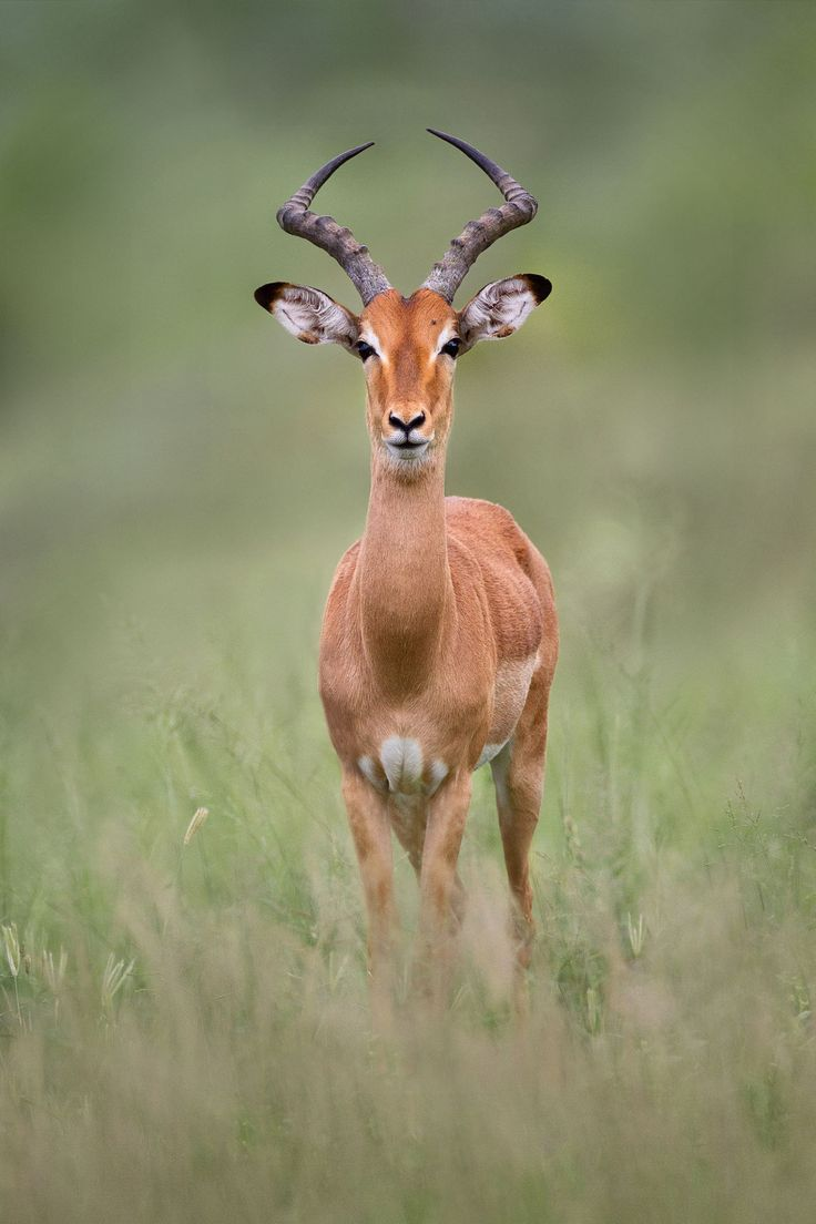 Impala by Matt Bango Djuma, Mpumalanga, South Africa