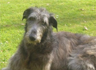 Scottish DeerhoundDogs Animal, Dogs Breeds, Dogs Breeders, Scottish Deerhoundsomeday, Walks Scotland, Productscottish Deerhound, Deerhound Puppies, Breeders Deerhound, Deerhound Photos