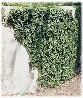 creeping fig - grows rapidly - shade to full sun - good for central florida - do not grow on wood, perfect for concrete and masonry walls