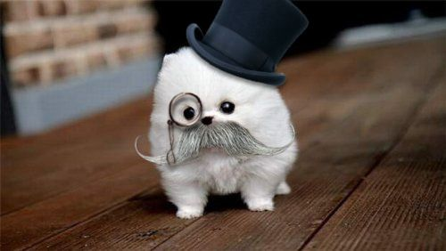 OMG!: Teacups Pomeranians, Puppies, Cat, Moustache, Like A Sir, Baby Animal, Mustache Dogs, Little Dogs, Tops Hats