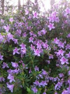 Beautiful light purple Azaleas/photo by Linda Guy Phillips