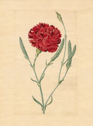 Sydenham Teast Edwards -- Wheatear carnation -- Sydenham Teast Edwards -- Artists -- RHS Prints