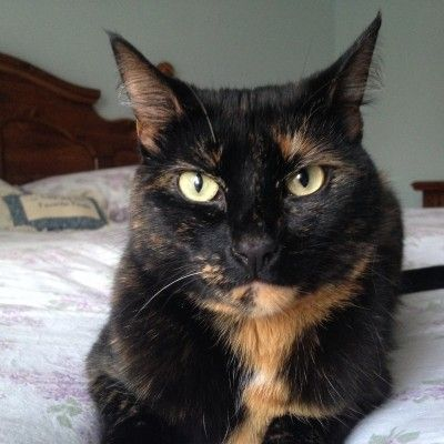 """Tortitude"" -The Unique Personality of Tortoiseshell Cats: Fact or Fiction?"