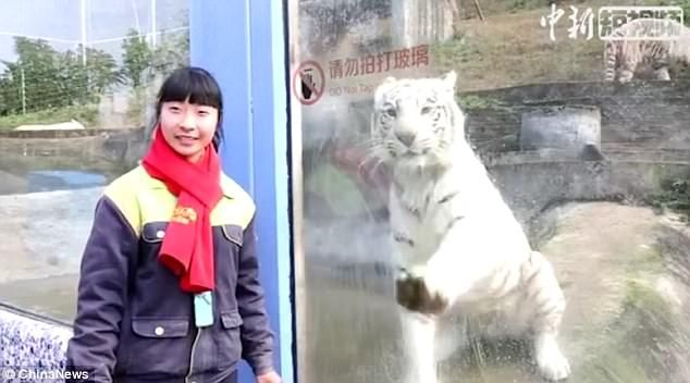 White tiger copies zoo keeper to clean enclosure glass from inside ...