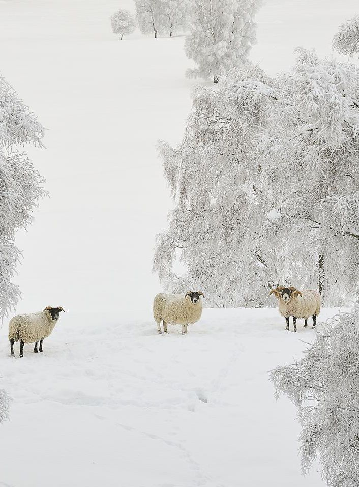 Sheep in the snow ~ Cairngorms, Scotland.   http://www.timberbush-tours.co.uk/