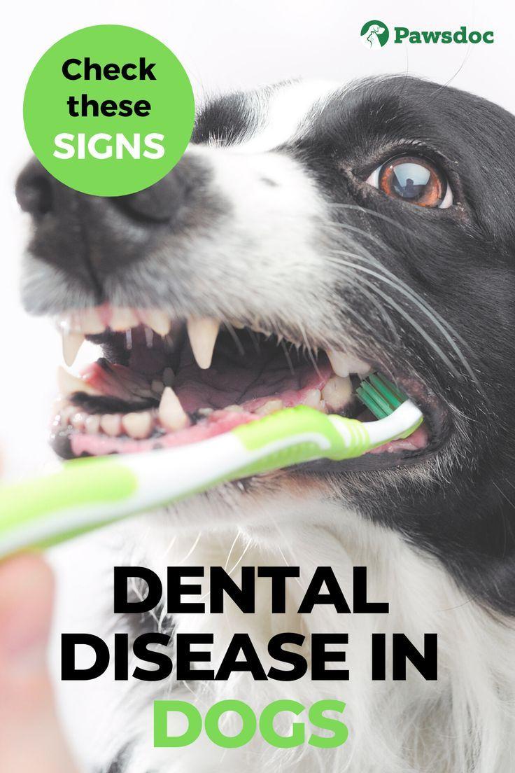 Dog Dental Disease I What To Do If You Dog Has Rotting Teeth In 2020 Dog Dental Disease Dog Treatment Dog Dental Health