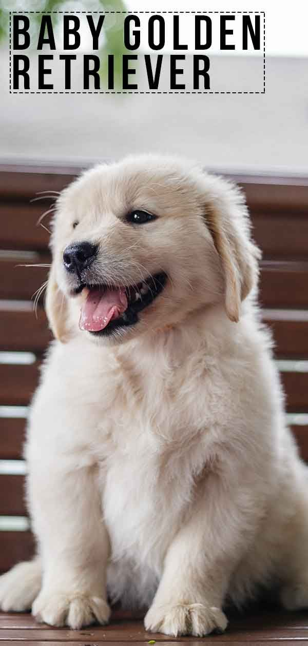 Baby Golden Retriever Facts And Fun About Golden Pups Cute