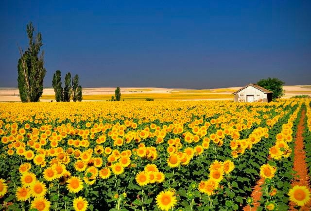 Plantação de girassóis: Rapese, Natural Photography, Vans, Color, Beautiful, Landscape Photography, Places, Sunflowers Fields, Painting