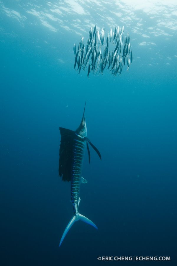 An Atlantic sailfish (Istiophorus albicans) drives a school of sardines up to the surface. Isla Mujeres, Mexico