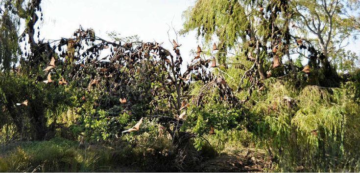 Pests return to river roosts | Warwick Daily News -  Remember dispersal actions are rarely successful and should not be conducted during the breeding season when young are nutritionally dependent on their mothers. For more on the science and the Australasian Bat Society's position on dispersal action please visit: ausbats.org.au