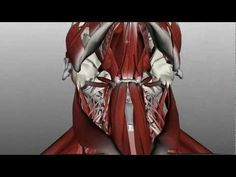 Neck Muscles Anatomy - Anterior Triangle - Part 1