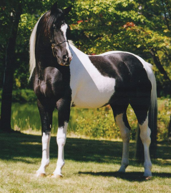 TS Black Tie Affair - This is the real Black Tie Affair, a famous Horse.  So beautiful.
