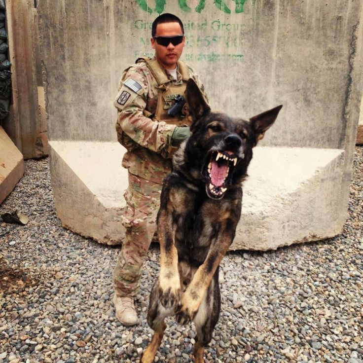 US ARMY MWD during training exercise.