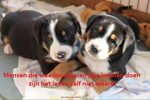greater swiss mountain dog puppies - HD 1280×853