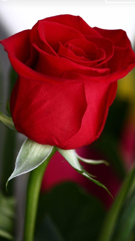 164 best rose-gÜller images on pinterest