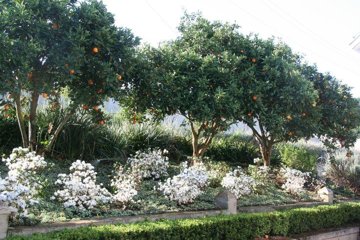 Orange trees with white azaleas