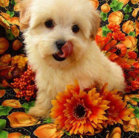 Maltipoo puppy dog for sale in Grand Rapids, Michigan