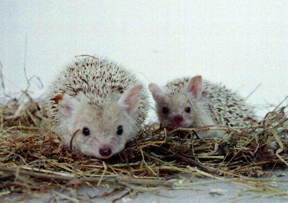 A long eared hedgehog!