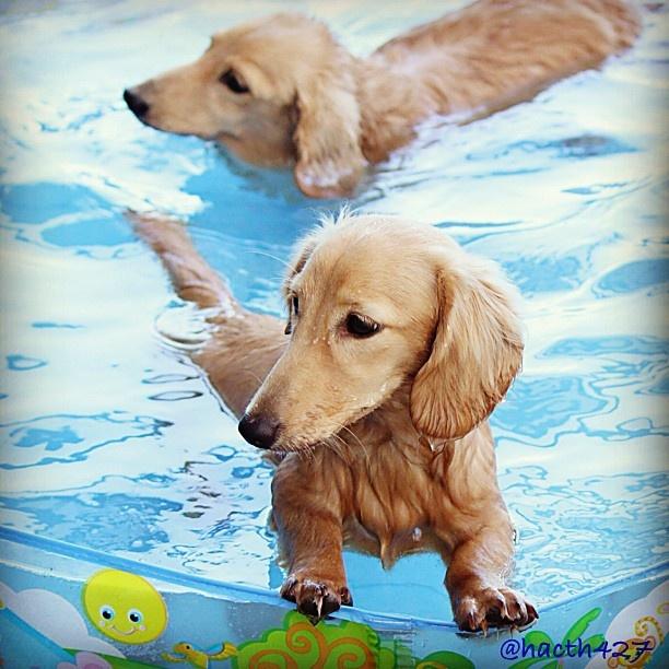 ニコたんバタ足練習中    #遊水倶楽部 #心にオアシス  #dogofthedayjp #dogoftheday  #dachshund #dog #ダックス #犬バカ部 #短足部 #petstagram #dogsofinstagram #カメラ嫌い同好会 #gf_japan #lovely_duchs #instagramphotography_ - @hacth427- #webstagram