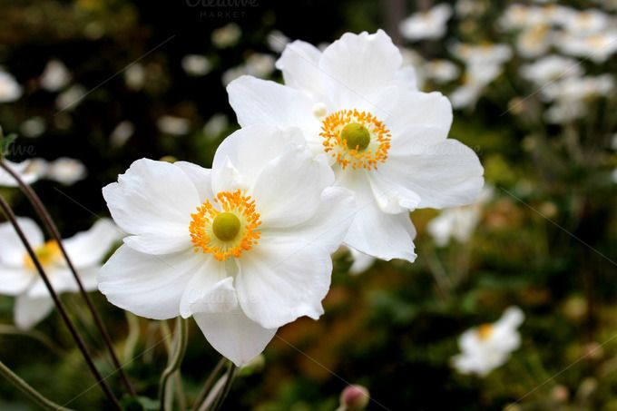White Anemone Flowers by Corner Croft Photos on Creative Market