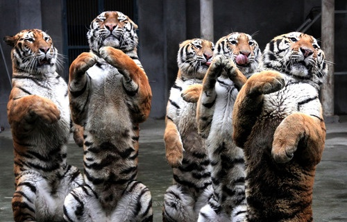 We sooo hungry! Please bring us yum yums. AmenWild Cat, Big Cat, Happy Dance, Wild Things, Dance Tigers, Pets, Fat Cat, New Years, Animal