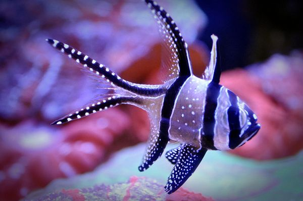 Used to have one of these Cardinal fish in my boyfriend's saltwater tank. They are just so pretty!