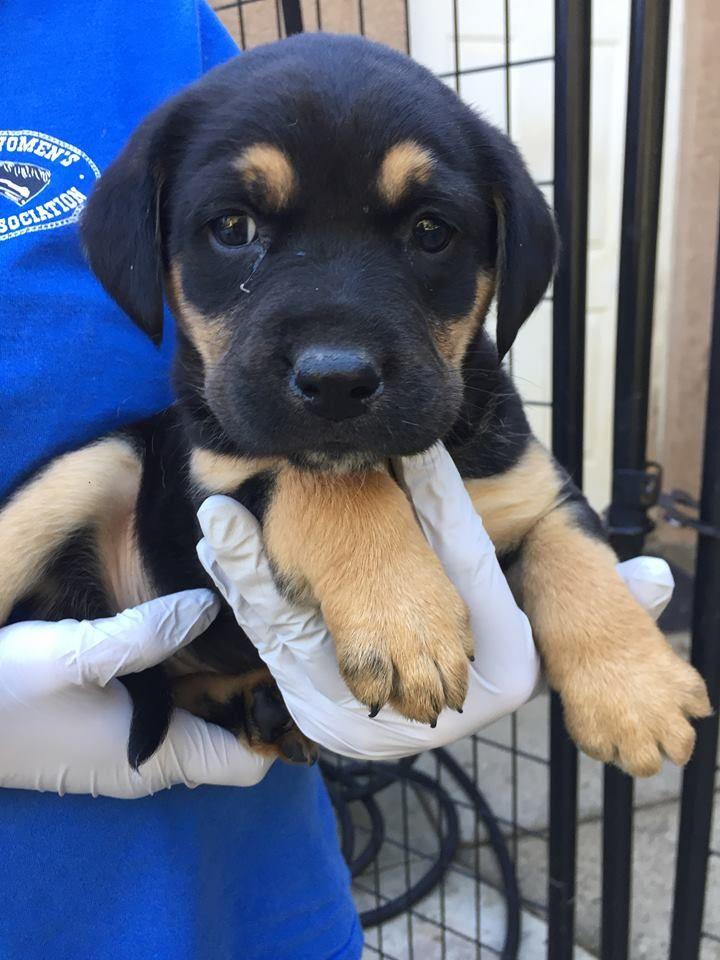 Labrottie Dog For Adoption In Redding Ca Adn 780913 On