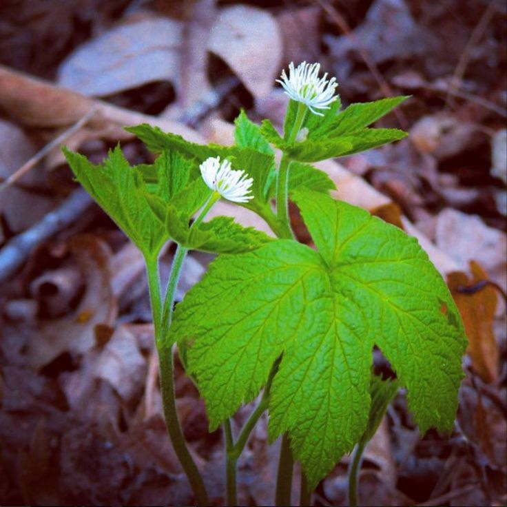 Goldenseal is one of the easier woodland medicinals to grow if you can plant it in a temperate mature hardwood forest in fertile, moist but well-draining soil. It has been greatly over harvested for its medicinal roots, so grow your own or buy woods-grown roots.