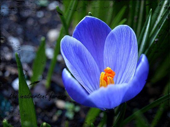 Crocus Spring