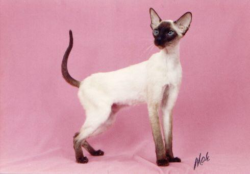 siamese cats,siamese kittens,siamese breeders,siamese cat breeders ... - Different type of cats Breeds Catsincare.com