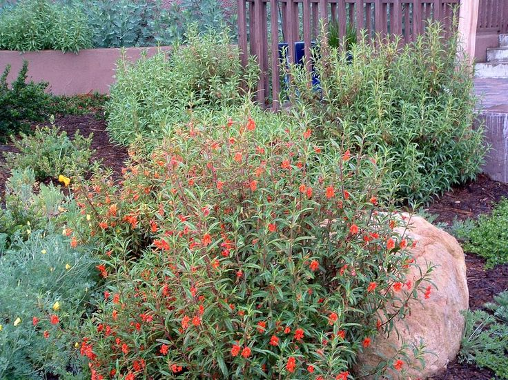 Red Monkey Flower Against A Boulder In Southern California Garden Likes Part Or Full Shade This Fries Sun