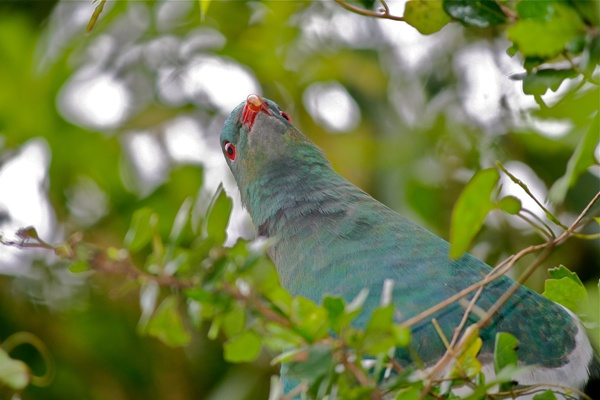Big and a boot of a doofus! Our native wood pigeon/kereru