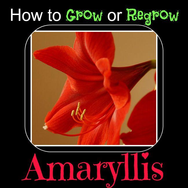 how to grow amaryllis plants