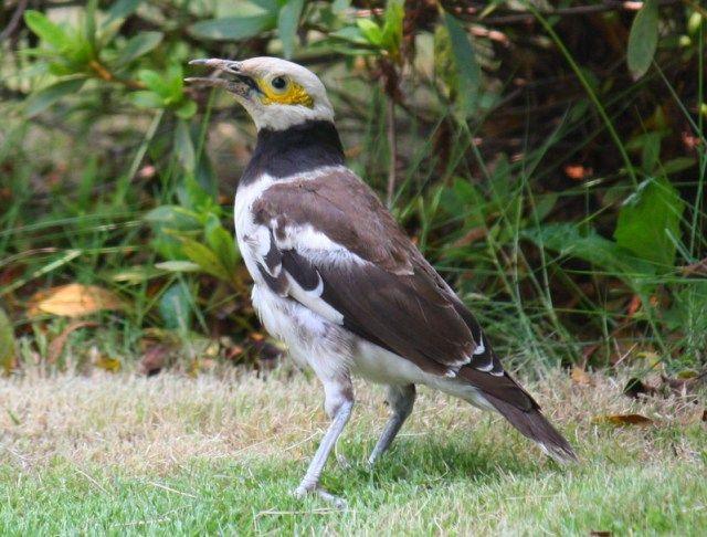 Burung Jalak Thailand (en.wikipedia.org)