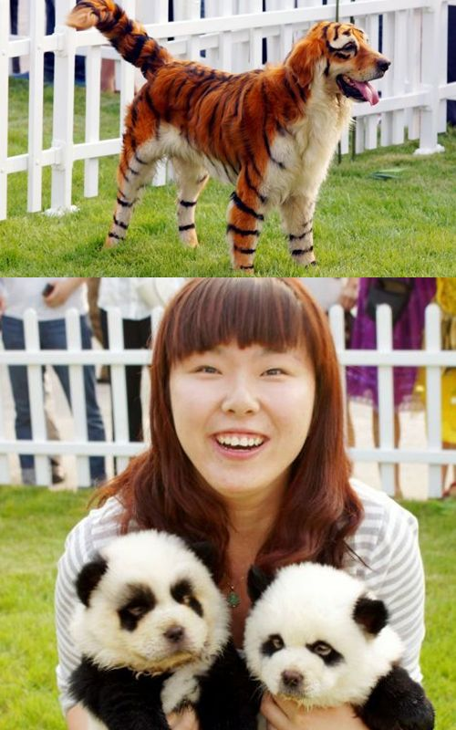 tiger dog and panda puppies: 100% real, dogs bred to look like exotic animals.