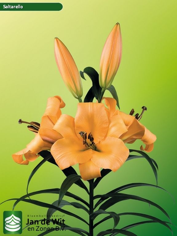 Lilium Saltarello - Susceptible to leaf burnNo Flower positionUpward Forcing time90 days GroupO-T Hybride ColourOrange BreederWorld Breeding Height100 cm Test results Bulb sizeBuds 12/142-3 14/164-5 16/185-6 18/206-8