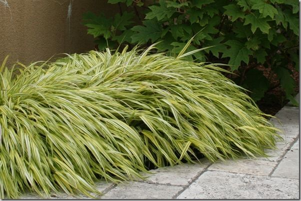 66 best all star west coast plants images on pinterest for Japanese mounding grass